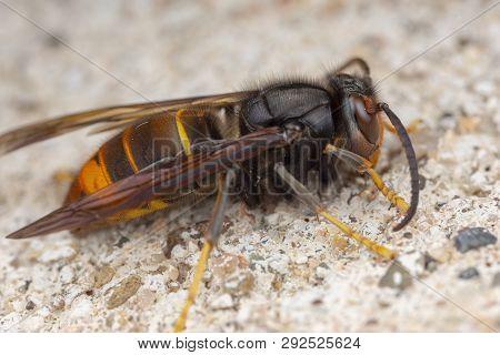 Real Vespa velutina, asian hornet macro photography