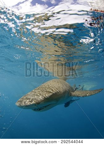 Lemon Shark (negaprion Brevirostris) Approaching The Camera, Right Beneath The Surface. Tiger Beach,