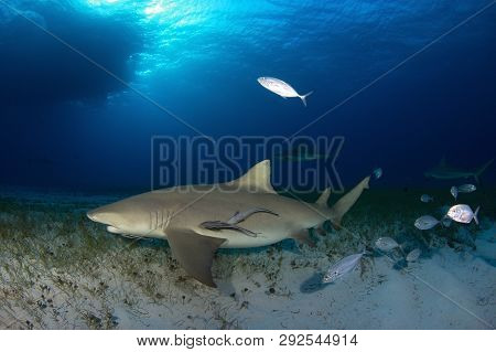 Lemon Shark (negaprion Brevirostris) With Some Caribbean Reef Sharks In The Background. Tiger Beach,