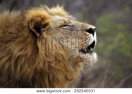 Male Lion Calling For His Pride, In Profile. Balule Nature Reserve, Kruger Park, South Africa