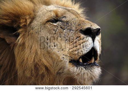Male Lion Calling For His Pride, Portrait. Balule Nature Reserve, Kruger Park, South Africa