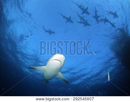 Caribbean Reef Shark (carcharhinus Perezi) From Underneath, With Plenty Of Lemon Sharks (negaprion B