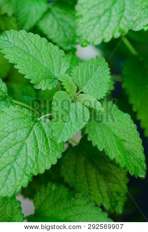 Close Up Image Of Fresh Mint Leaves
