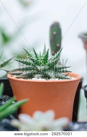 Close Up Image Of Haworthia Aristata Cactus