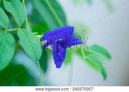Butterfly Pea Flower, Clitoria Ternatea Flower  In Botanic Garden.