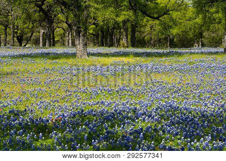 Bluebonnet Filled Meadow In The Hill Country Of Texas Near Marble Falls