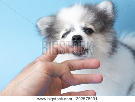 Closeup Puppy Pomeranian Dog Bite On Finger For Kidding, Selective Focus