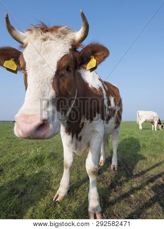 Red And White Cow Stands In Green Meadow Under Blue Sky In The Netherlands