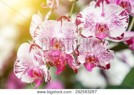 Phalaenopsis Orchid. Flower In Garden At Sunny Summer Or Spring Day. Flower For Postcard Beauty Deco
