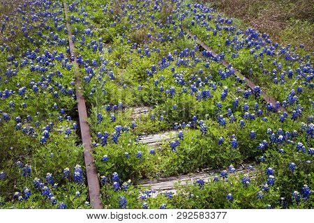 Bluebonnets On Railroad Track In The Texas Hill Country