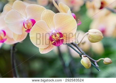 Phalaenopsis Orchid Flower In Garden At Sunny Summer Or Spring Day. Flower For Postcard Beauty Decor