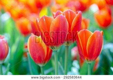 Tulip Flower In Garden At Sunny Summer Or Spring Day. Flower For Postcard Beauty Decoration And Agri