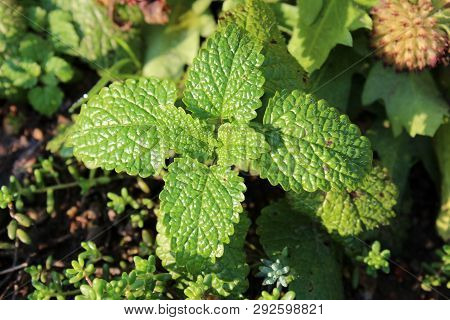 Lemon Balm Or Melissa Officinalis Or Common Balm Or Balm Mint Perennial Herbaceous Plant With Thick
