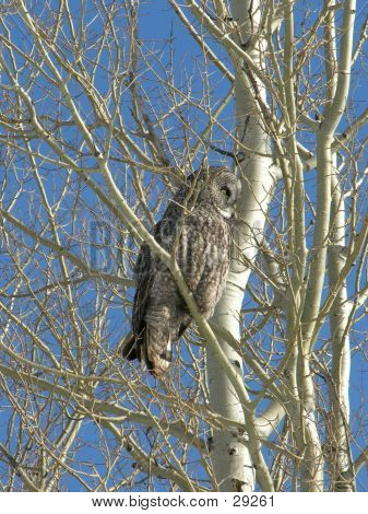 A grey owl perched in a tree in the winter. poster