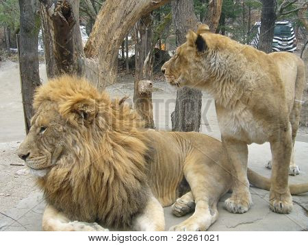 Lion & Lioness in Safari Zoo