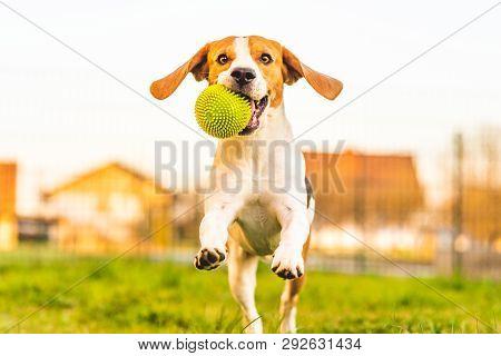 Beagle Dog Runs In Garden Towards The Camera With Green Ball.