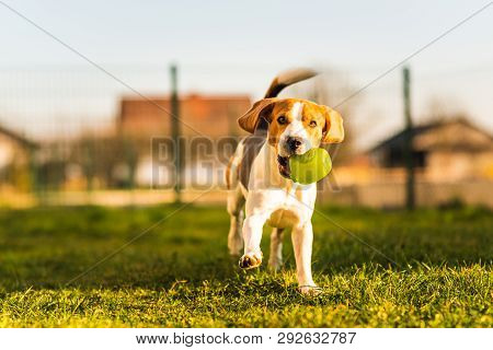 Beagle Dog Runs In Garden Towards The Camera With Green Ball.