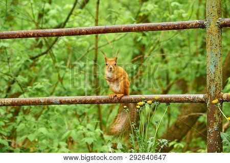 Squirrel Looks At The Frame. The Red Squirrel Or Eurasian Red Squirrel Is A Species Of Tree Squirrel