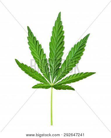 Cannabis Leaf Isolated On White. Hemp Leaf Close Up. Marijuana Drugs Is Produced From Cannabis Leaf.