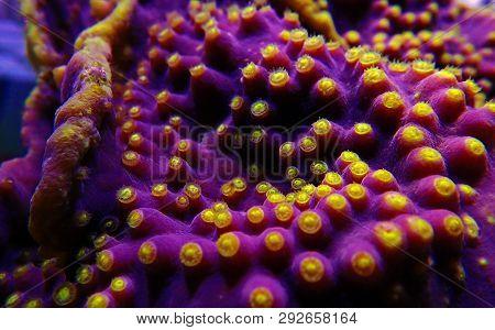 Macro Yellow Polyps On The Purple Turbinaria Sps Coral