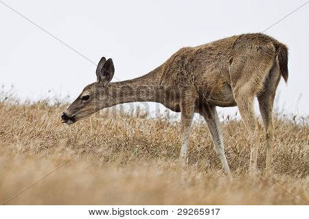 Black-tailed deer.