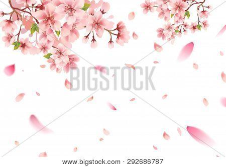 Cherry Blossom Sakura In Springtime On White Background
