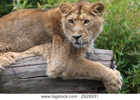 Löwe am Baumstamm
