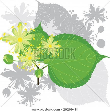Linden Flowers with Foliage