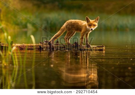 Cute Red Fox, Vulpes Vulpes In Fall Forest. Beautiful Animal In The Nature Habitat. Wildlife Scene F