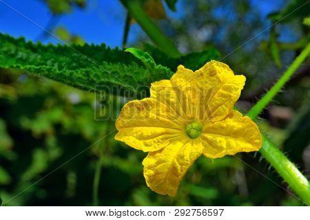 Yellow Cucumber Flower, Home Garden, Cucumis Sativus L.