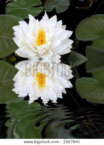White Lotus Reflection