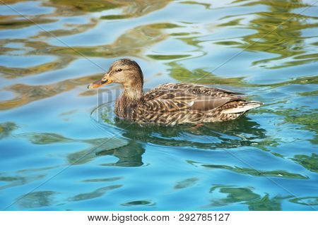 Gray Duck, Close And Personal Look In The Water