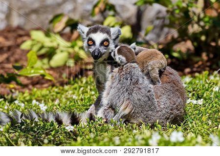 Ring-tailed Lemur, Or Cat Lemur, Or Katta (lemur Catta) -- The Most Famous Species Of The Lemur Fami