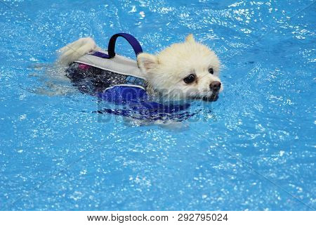 Pomeranian White Dog Swimming In The Pool