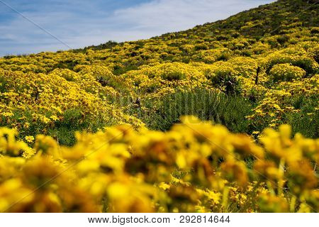 Giant Coreopsis Wildflowers Along The Point Dume Trail In Malibu California