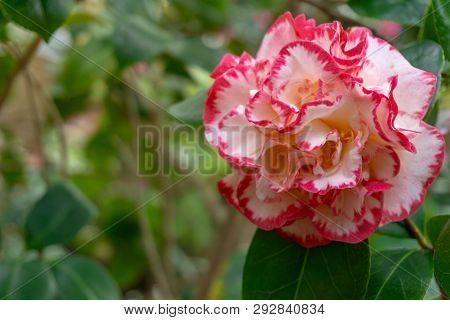 Kamelie Margaret Davis(camellia Japonica) Im Frühling 1 - 1.4.2019