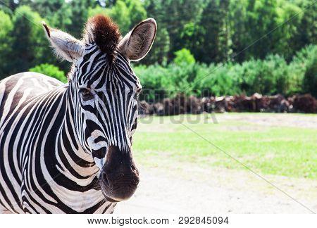 Zebras (hippotigris) Are The Three Species Grevys Zebra (equus Grevyi), Mountain Zebra (equus Zebra)