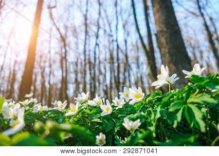 Splendid forest with fresh flowers in the sunlight. Early spring time is the moment for wood anemone. Snowdrop nemerosa. Soft filter effect. Fresh seasonal background. Ecology concept. Beauty world.