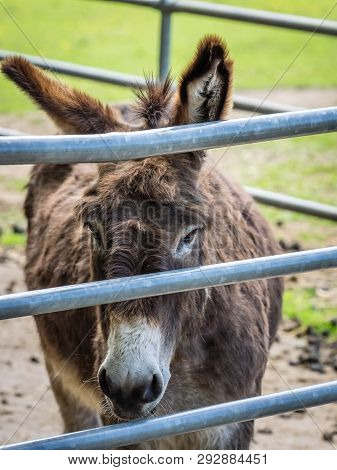 Sad donkey inside an metal bars enclosure on a farm in summer poster