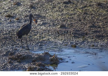 Glossy Ibis (plegadis Falcinellus) In A Rice Field In A Albufera Of Valencia Natural Park Eating A C