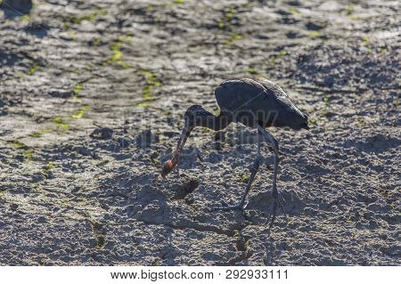 Glossy Ibis (plegadis Falcinellus) In A Rice Field In Albufera Of Valencia Natural Park Eating A Cra