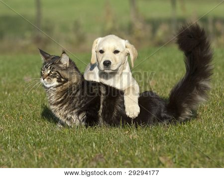 yellow puppy and cat