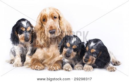 family English Cocker Spaniel dogs in front of a white background