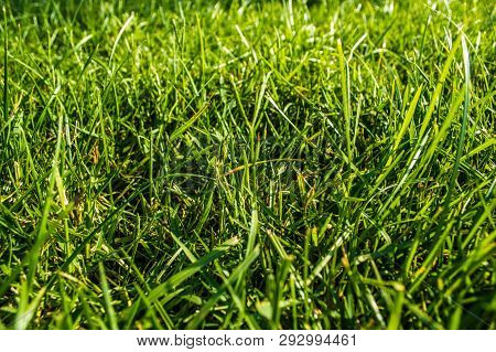 Close Up Of Green Grasses Under The Sunlight. Nature Concept.