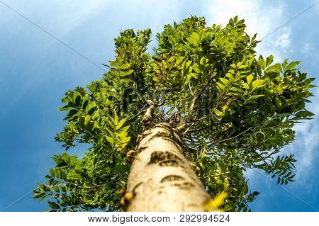 Low Angle Shot Of A Tree On Blue Sky Background.