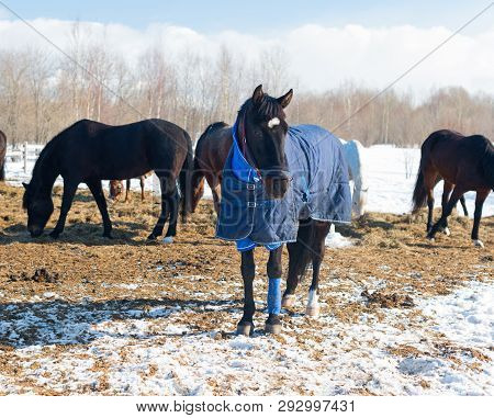 The Bay Horse With The Blue Blanket And The Halter Is In Outdoors. The Herd Of The Mares And The Gel
