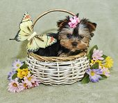 Yorkie puppy sitting in a basket with a yellow butterfly and spring flowers. poster