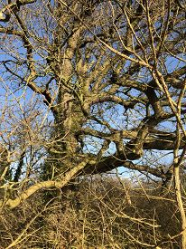 Tall, Bare Trees Against A Blue Sky On The Shropshire Union Canal Towpath, Upton-by-chester (england