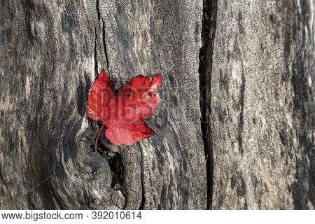 A Red Leaf In Autumn Lays On A Tree Trunk At The Finch Arboretum, In Spokane, Washington Usa.
