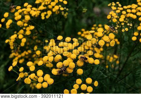Bees Working On Yellow Flowers - Common Tansy, Also Called Golden Buttons Or Cow Bitter. Pollinating